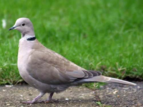 Eurasian collared dove by haha