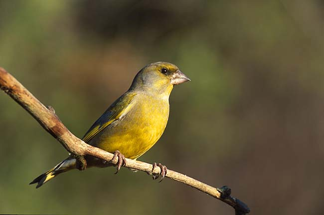 European greenfinch by Marek Szczepanek
