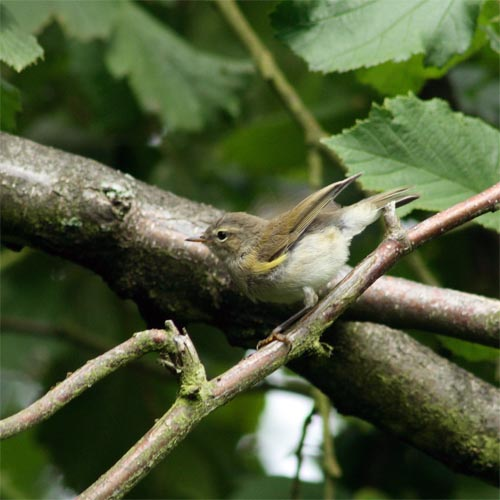 Leaf Warbler photo by Loz
