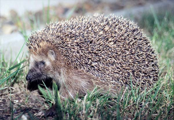 european hedgehog by Olaf1541